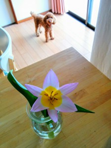 折れたつぼみのチューリップが一気に開花^^